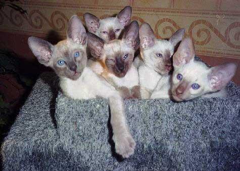 Modern Siamese Cats