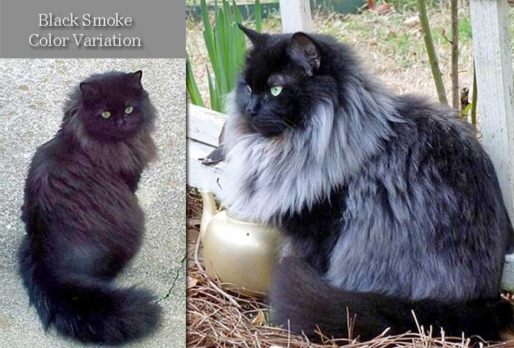 Black smoke cat color variations