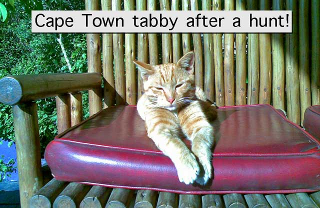 Cape Town tabby cat