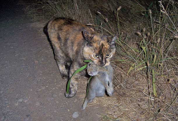 Domestic cat predation