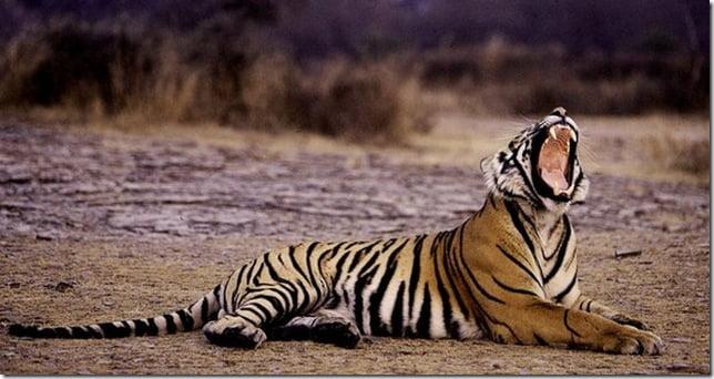tiger with half orange and half white coat