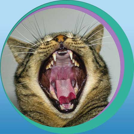 cat with open mouth, yawning