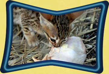 Kitten eating raw chicken drumstick