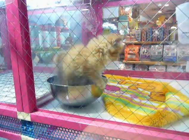 Kitten in shop window Tokyo Japan. Screenshot from video.