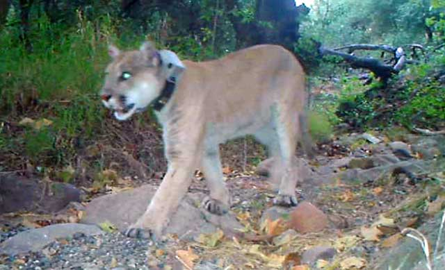 Mountain lion P-22 recovering health after being poisoned with rodenticide.