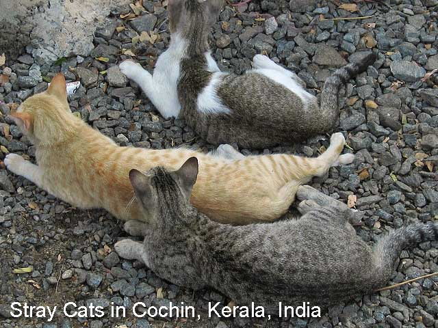 Stray cats in India