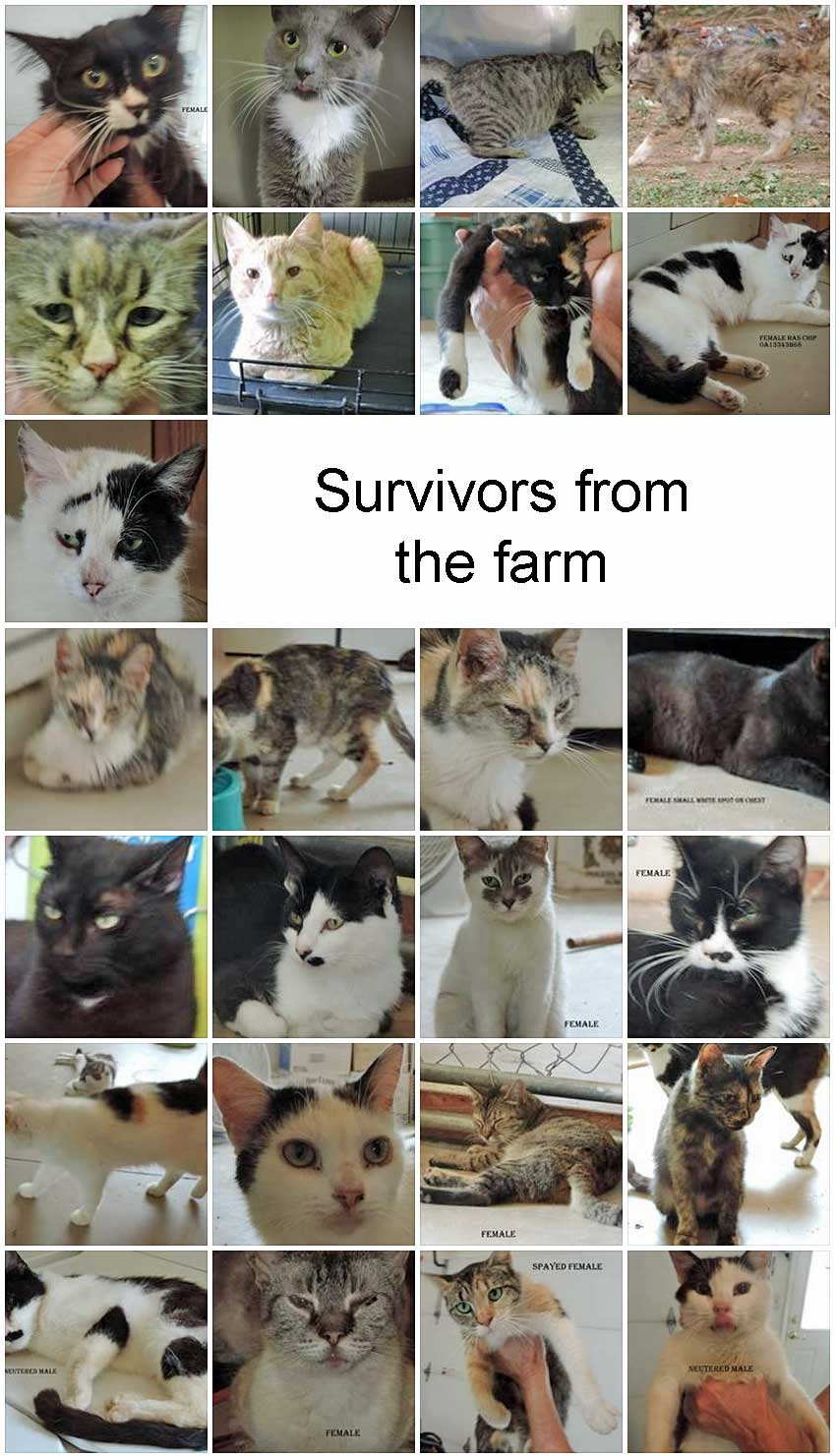 surviving cats from the Julianne Westberry cat hoarding tragedy