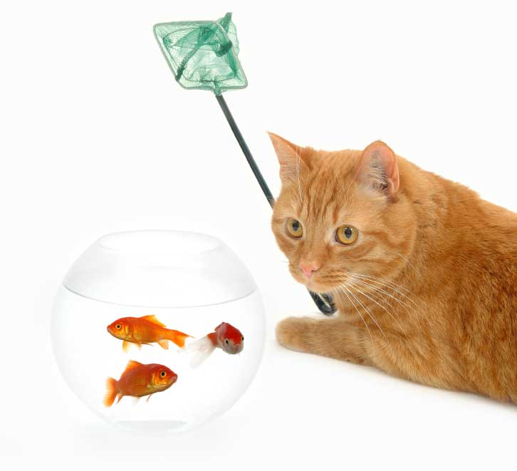 cat fishing for goldfish