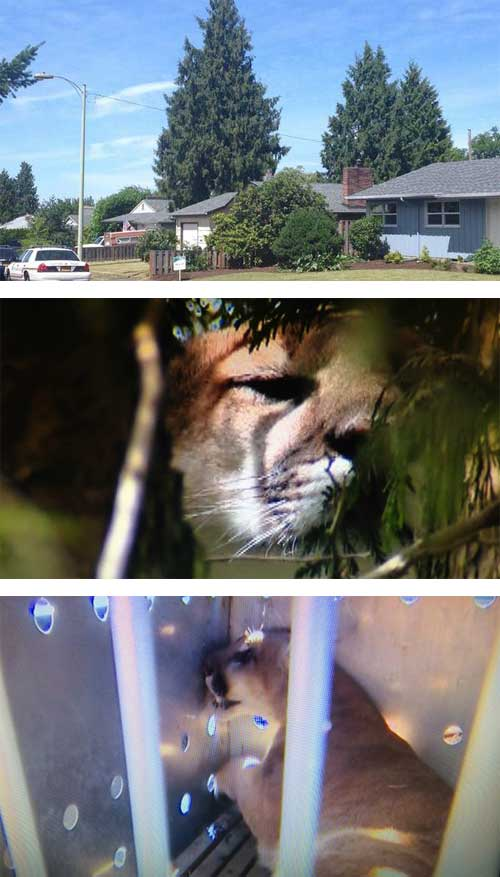 cougar in urban area trapped and killed (euthanised)