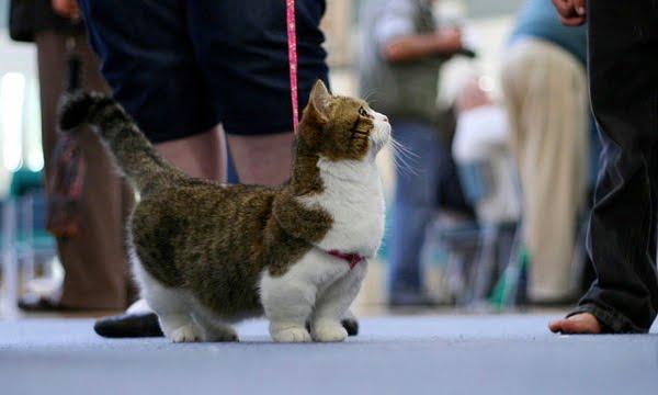 Dwarf cat on leash at cat show