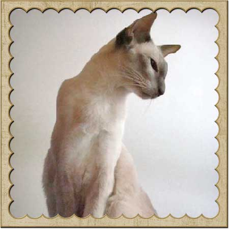 pointed oriental shorthair