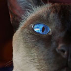 Siamese blue eyes