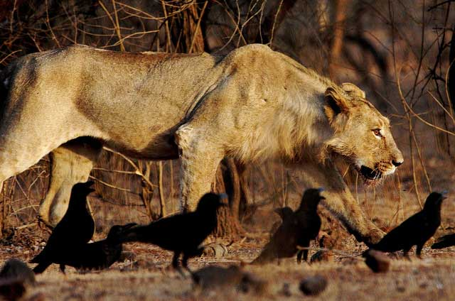 Asiatic lion Gir Forest