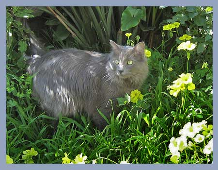 Nebelung cat in garden