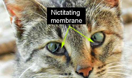 Nictitating membrane in Cat