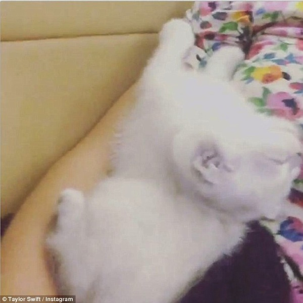 Olivia Benson a fluffy white kitten owned by Taylor Swift