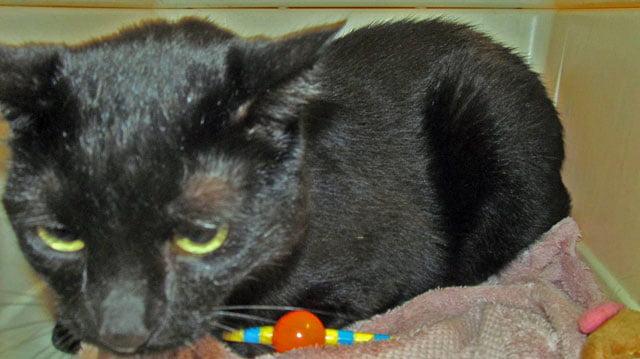 Midnight a rescuec cat