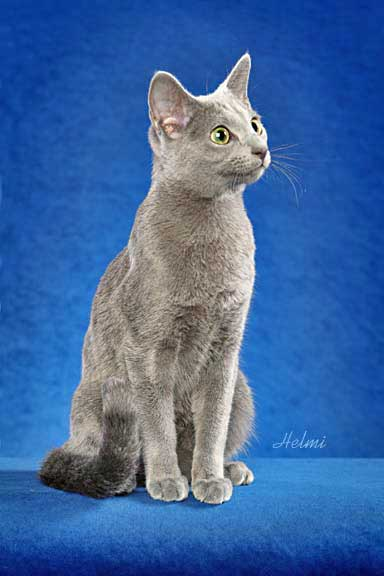 Russian Blue: Photo: copyright Helmi Flick
