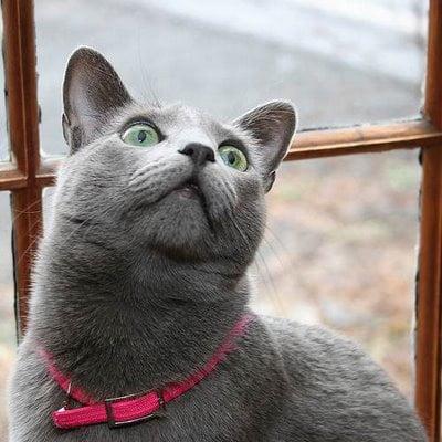 Russian blue cat grey cat breeds