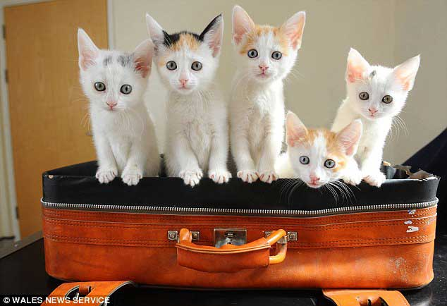 Abandoned Turkish Van kittens
