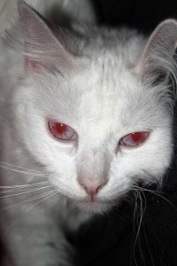 albino cat eye color