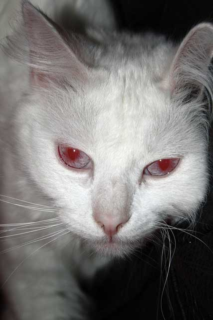 Gray Cat With Red Eyes