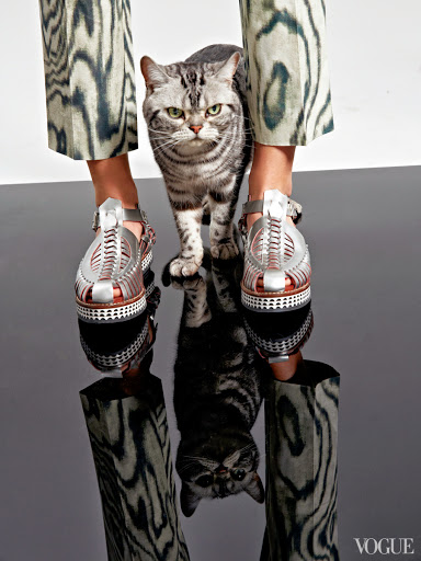American Shorthair and shoes