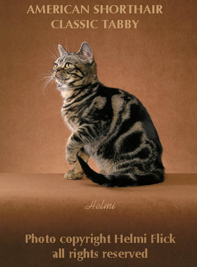 American shorthair cat tiger