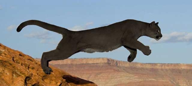 Black Mountain Lion