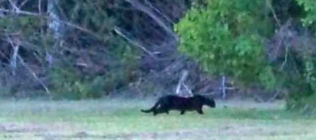 Black panther sighting Louisiana? No.