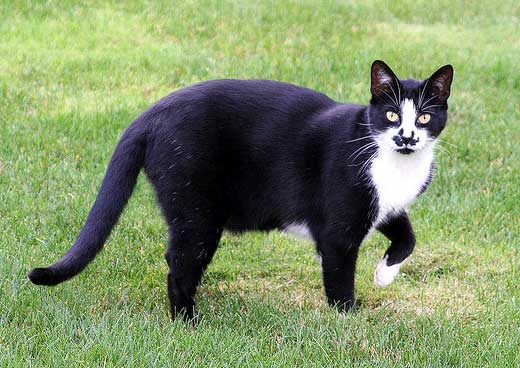 Charlie a black and white cat named after Charlie Chaplin