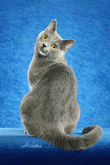 Chartreux cat x