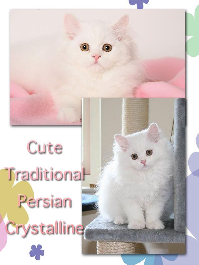 Cute Persian kitten Crystalline