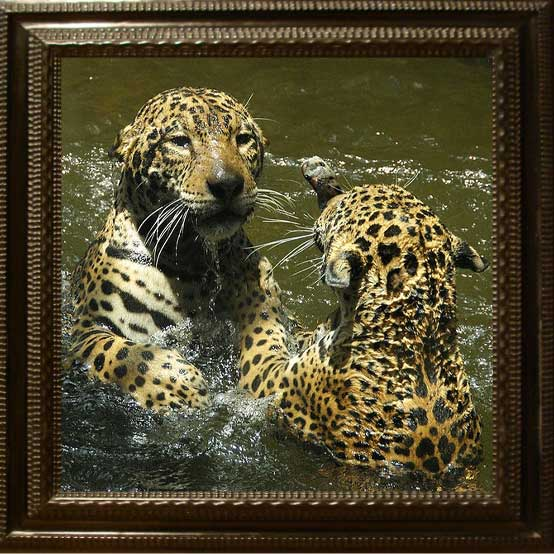 Jaguars playing in water