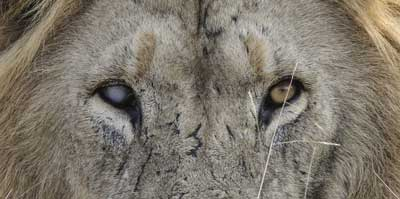 Lion with cataract in his right eye