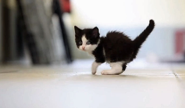 Three legged kitten lost a leg in a mousetrap in a garden