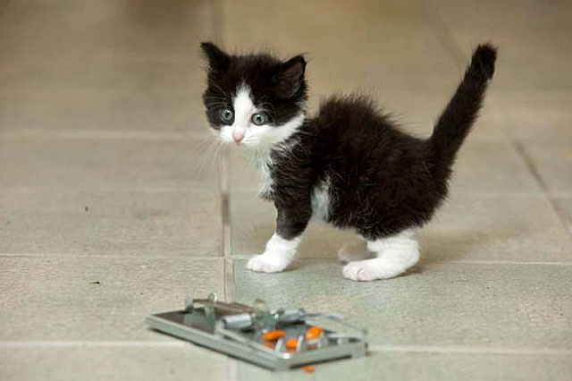 Three legged kitten startled by mousetrap that caused-her to lose a leg