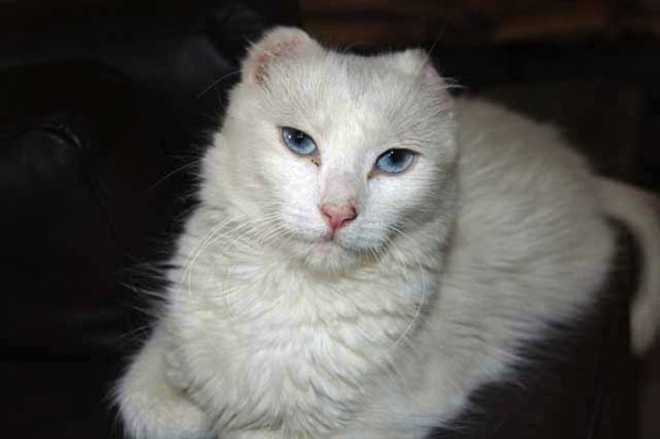 White cat with amputated ears because of cancer