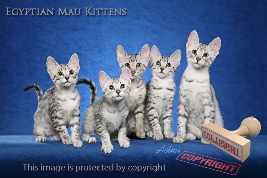 Egyptian Mau 5 Kittens looking out