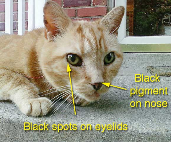 Black spots on cat eyelids
