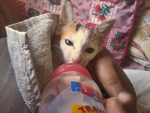 Bottle feeding a feral kitten (Pakistan)