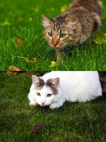 Domestic cats roaming and hunting