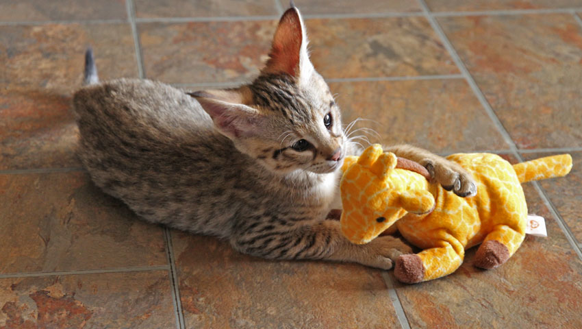 f2 savannah kitten with toy
