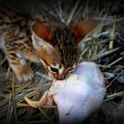 Savannah cat eats raw chicken at A1 Savannahs