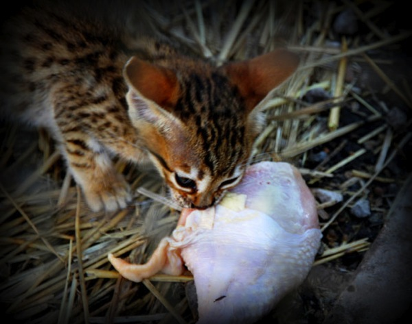 Savannah cat eats raw chicken at A1 Savannahs