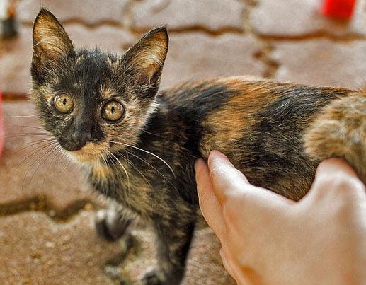 Malaysian street cat