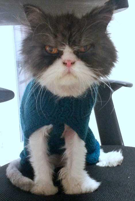 Persian cat MATT looking very grumpy