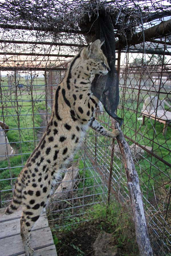 Serval in an enclosure looking out forlornly