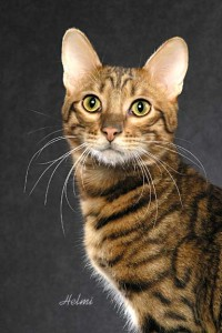 """Buck"" a Toyger cat"