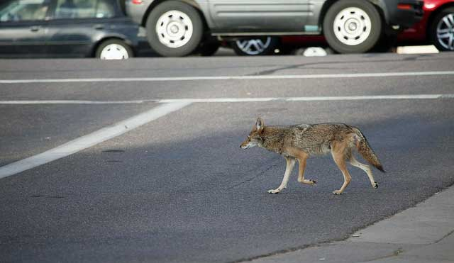 Urban coyote a threat to outside domestic cats
